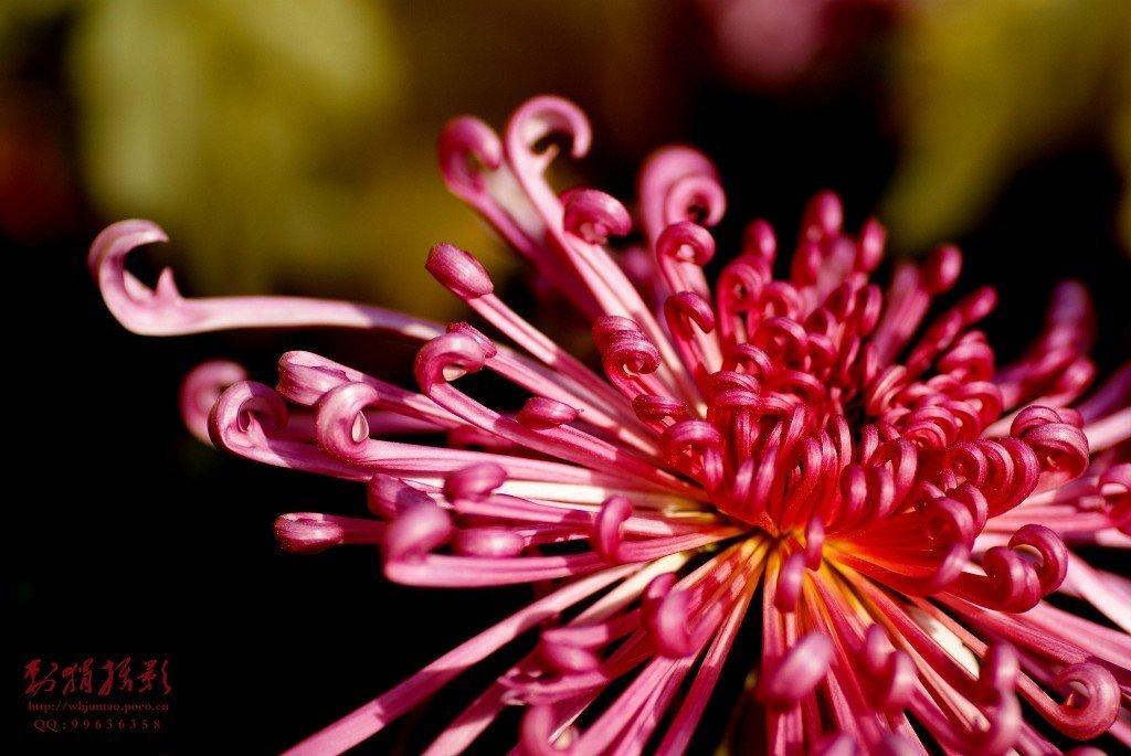古风红色花卉手绘