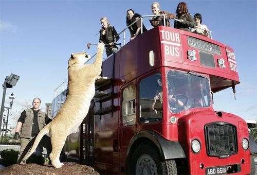 组图:生猛狮虎兽hercules逛伦敦