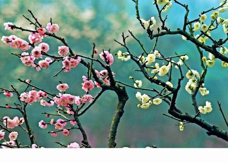 优秀奖-梅花枝上春如海-赖超美