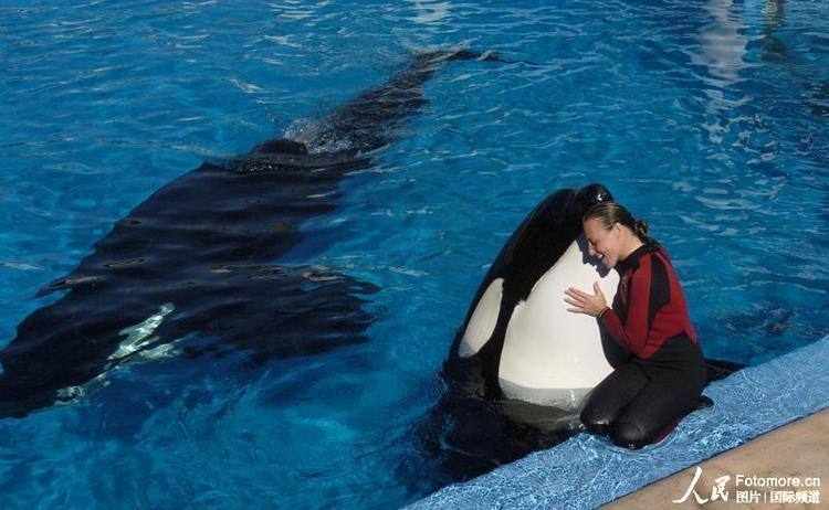 关于虎鲸的图片_虎鲸大白鲨狭路相逢撕咬撞击演霸主之争图