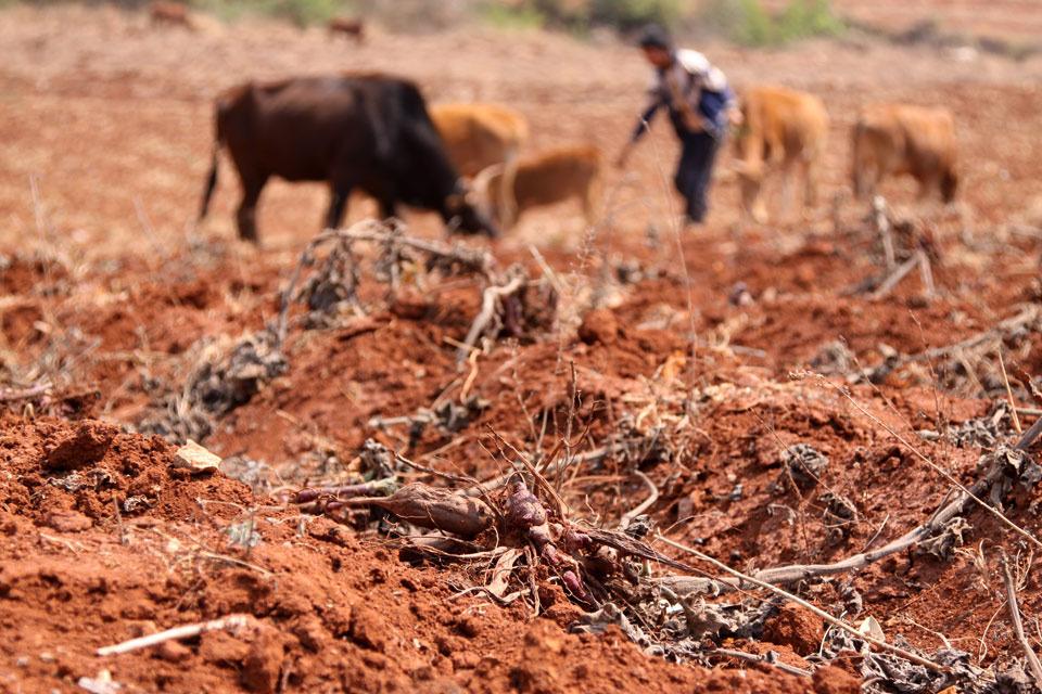 2010年3月20日,昆明市五华区厂口乡烂板桥村。这里八个月没有出现有效降水,村民种的雪莲果还没长大就干死在地里,成了牛羊的口粮。(张蕾 摄)