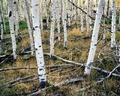地球最古老树木