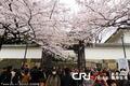 高清:日本东京樱花盛放 双休日市民树下欢聚