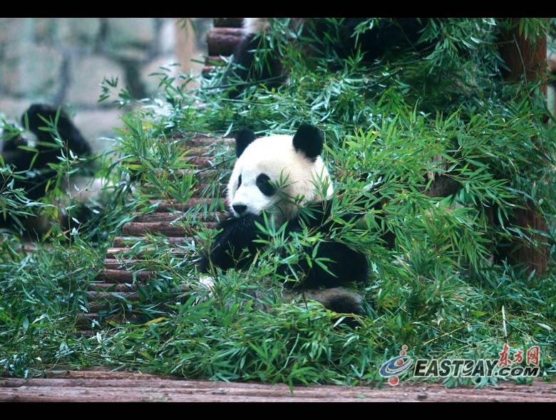大熊猫正在悠闲地吃着竹子
