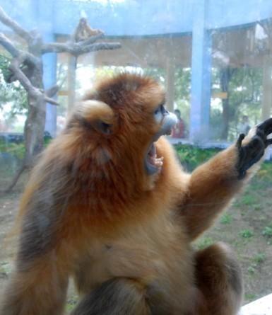 """武汉动物园给金丝猴看""""生理片""""助孕"""