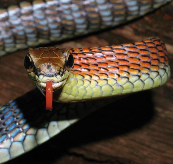 火焰蛇(柯普斯坦氏过树蛇)体长约1.5米,其颈部是鲜艳的橙色,并伴有彩虹色、蓝色、绿色以及褐色条文,一直延伸到身体后背上。