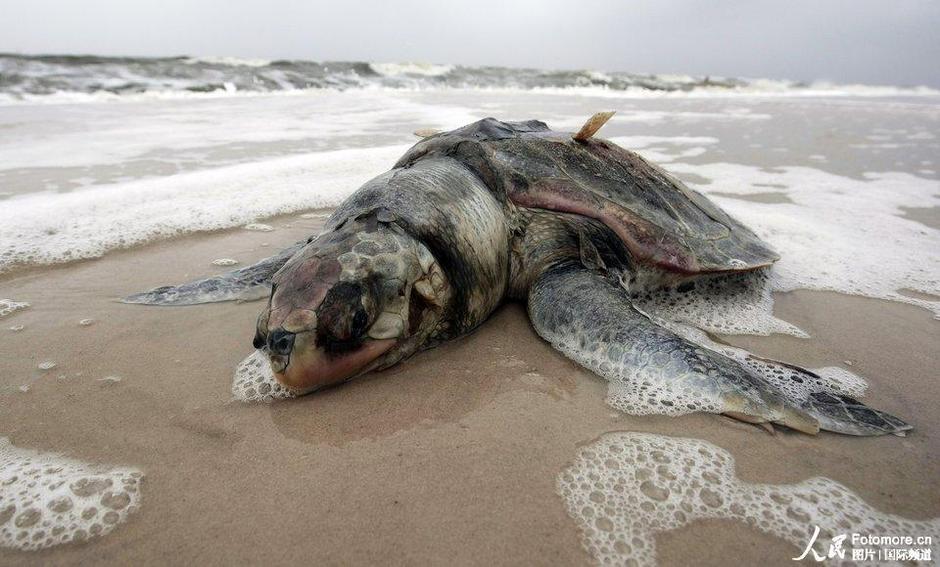 2010年5月2日,美国,帕司克里斯全:海滩上一只死去的海龟。