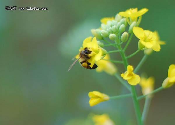 油菜花中采蜜的小蜜蜂 (图7)-北京周边大片油菜花开放 旅游攻略图片