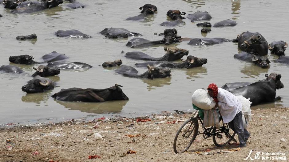 5月27日,印度,卡奇:一位老汉从池塘边走过,成群的水牛在池塘中躲避高温。