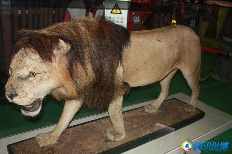 初中:狮子等野生动物活体高清现身肯尼亚馆茨标本骞庄襄城县沟图片