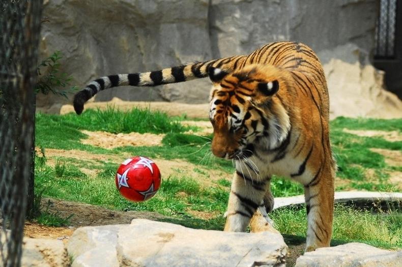 一只老虎在玩足球