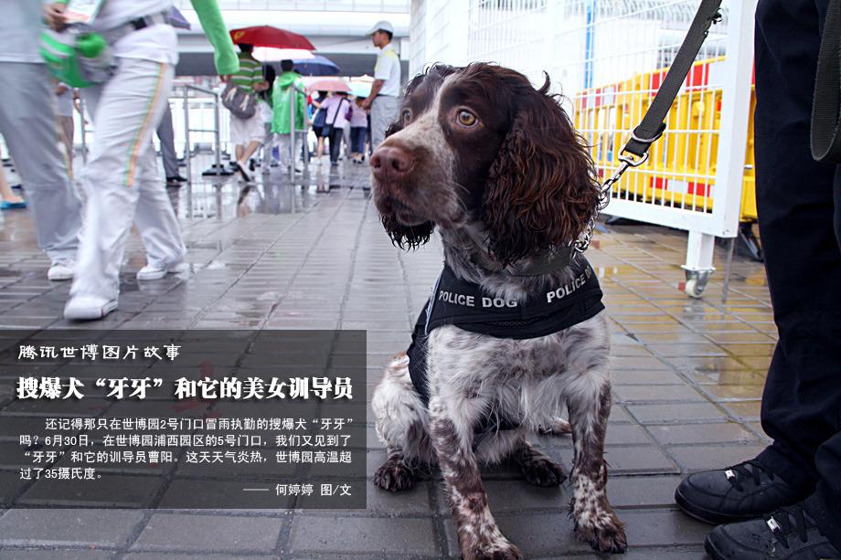 """6月28日那天冒雨执勤的搜爆犬""""牙牙"""""""