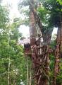 高清:印尼科罗威人原始部落 住树屋吃虫子