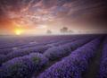组图:英格兰清晨绝美薰衣草种植园