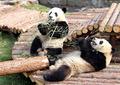 高清:探秘世博大熊猫的美食和快乐生活