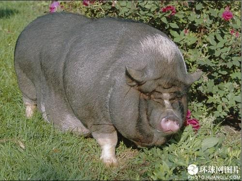 图片动物图片猪