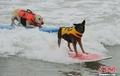 高清:可爱宠物狗变身冲浪高手 加州海滩竞技