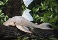 组图:亚马逊发现奇特甲鲶鱼 有甲壳吃木材
