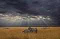 高清:大自然的奇迹——肯尼亚动物大迁徙