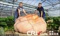 高清:英国巨型南瓜有望创造新世界纪录