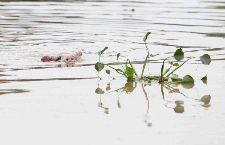 纪录类+收藏作品+洪水之困(组1)+浦峰+2010年6月23日,江西抚州,一头在洪水中幸存的猪正拼命寻找着生路。