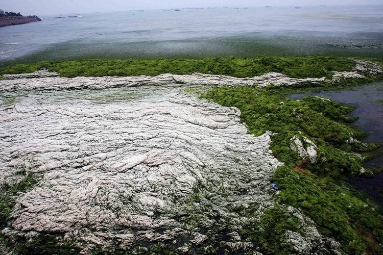 纪录类+收藏作品+浒苔袭来(组1)+郭建政+青岛第三海水浴场来不及清理的浒苔已腐烂。