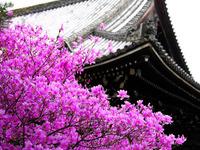 日本樱花桌面
