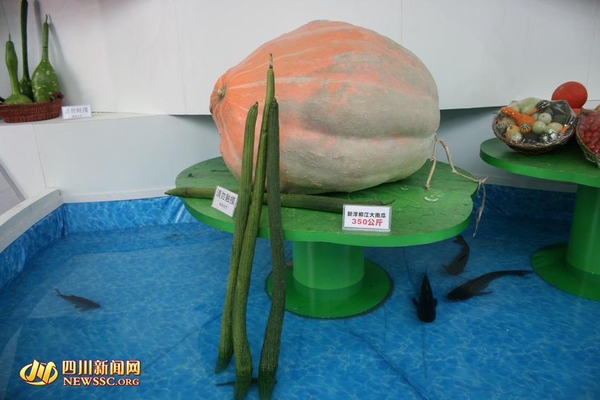 """""""传说中""""700斤重的南瓜和2米长的丝瓜.350公斤的南瓜、近2米长的丝瓜、1斤多一个的马铃薯、绿壳土鸡蛋......这些平日难得一见的奇瓜异果,都在""""2010年中国西部国际农产品交易会暨绿色食品有机食品博览会""""上集体亮相。西博会首次为农产品设立的专馆,让人眼界大开。西博会8号馆,期待光临。("""