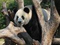 12只亚运大熊猫迎客