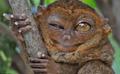 眼镜猴仅15厘米