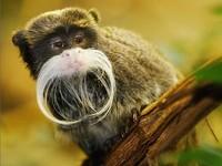 世界10大最珍稀猴子:奇特山魈体重可达700斤