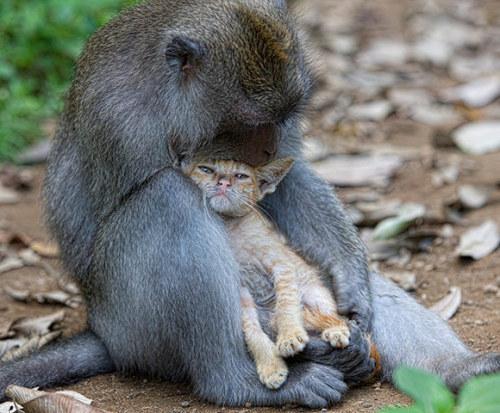 猴子收养流浪猫当宠物 动物之爱令人感动  (组图) - 天堂花 - 天 堂 花
