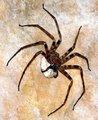 最大的巨型蜘蛛