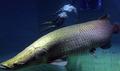 惊人的巨型鱼