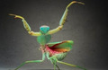 螳螂犹如外星人