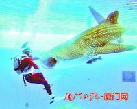 2.6吨鲸鲨运抵厦门 将制成国内最大鱼类标本 - 何记茶轩 - 何记茶轩