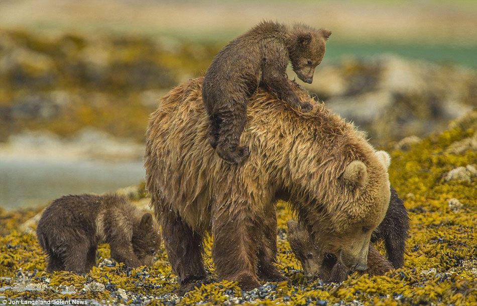 【转】熊妈妈当船载3只熊崽过河 滑稽姿态萌化人心 - 龙潭客 - 依山小筑