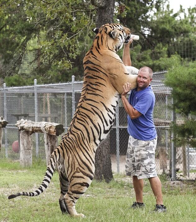 美国男子与6只老虎2头狮子同住 亲似家人 - 暮色苍茫 - 赵破奴