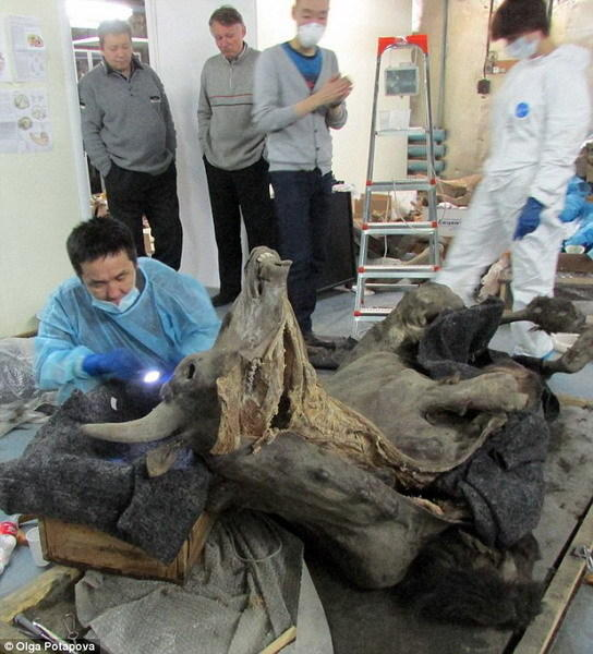 科学家解剖9300年前野牛尸体:大脑心脏保存完好