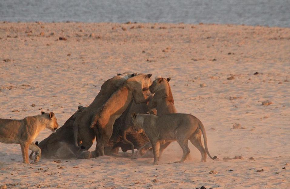 【转】狮口脱险 8岁小象击退14只饥饿母狮群 - 龙潭客 - 依山小筑