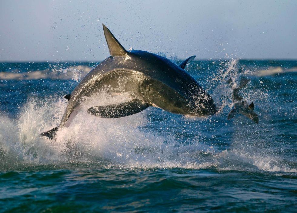 """实拍南非海豹""""鲨口脱身""""惊魂瞬间 - 海阔山遥 - ."""