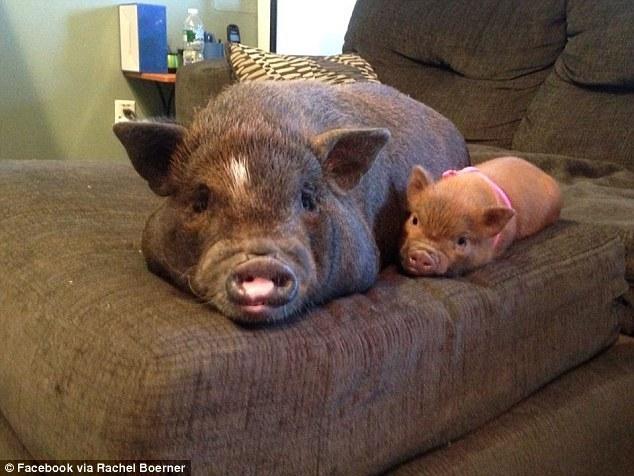 两个猪的合照-美国女子带猪上飞机 安检称猪是治愈系动物放行