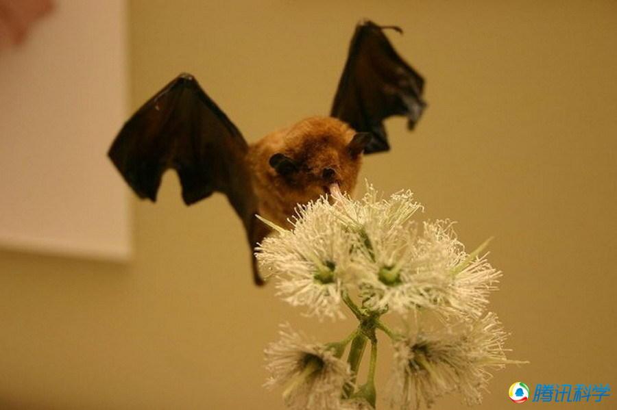 蝙蝠的超声探测能力无与伦比