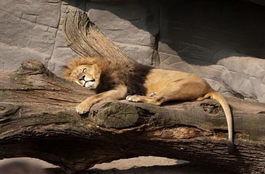 狮子是夜间活动动物,它们主要在白天时间睡觉,被称为森林之王的