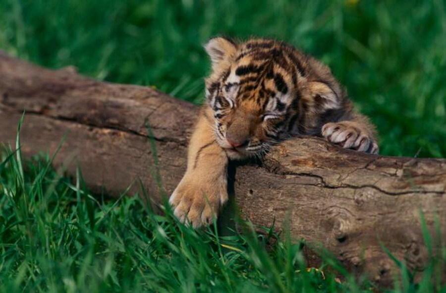 5/11 老虎:老虎的睡觉方式与狮子较为接近,每天大约睡16小时.
