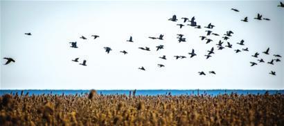 湿地公园内候鸟迁徙照片。