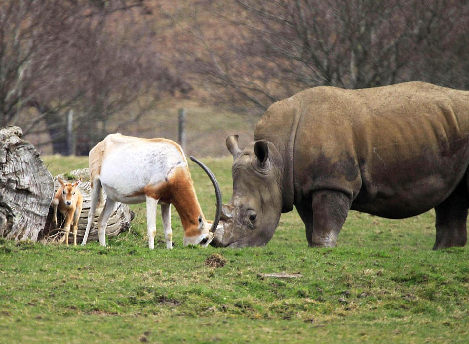 英国羚羊妈妈为护幼崽勇斗犀牛