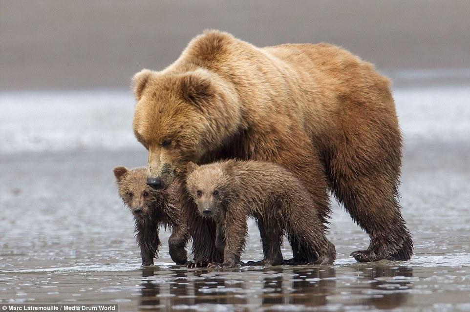 """猛兽也温情 呆萌熊崽""""熊抱""""母亲 - 海阔山遥 - ."""