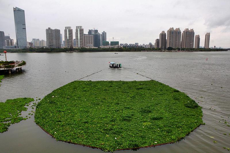 广东惠州水浮莲成灾 两江变成 大草原