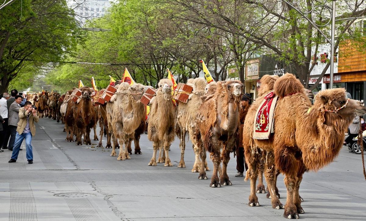 百峰驼队重走丝绸之路 民众沿街围观 - 海阔山遥 - .